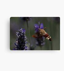 Broad-bordered Bee Hawkmoth 2 Canvas Print