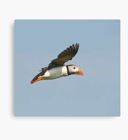 Puffin inflight ~ Isle of May Canvas Print