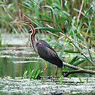 Purple Heron - Danube Delta, Romania by Derek McMorrine