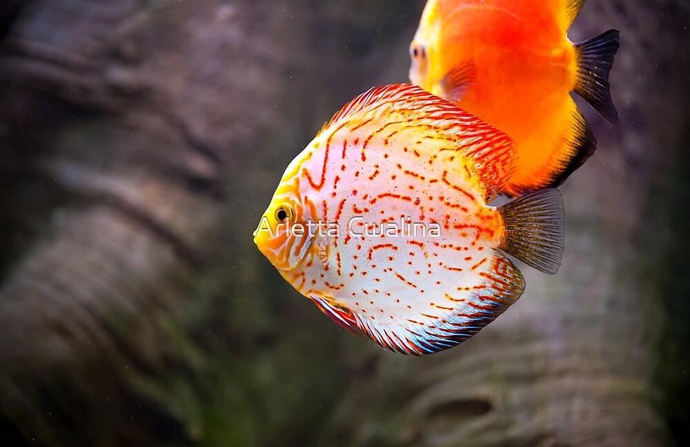 Symphysodon discus fish by Arletta Cwalina