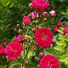 Red Roses by Lee d'Entremont