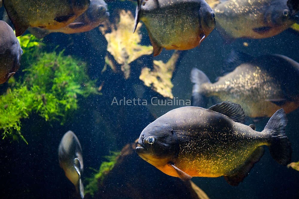 Red bellied piranha fishes by Arletta Cwalina