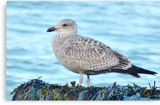 Seagull  by Vincent J. Newman