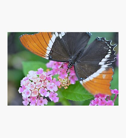 Brown and Black Butterfly on Lantana Flowers Photographic Print