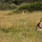 Euros (Macropus robustus) at Dusk - Cape Range National park, Western Australia by Dan Monceaux