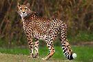 Cheetah - Taronga Western Plains Zoo Dubbo by Darren Stones
