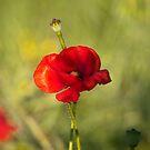 Poppy by Gouzelka