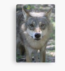 Eurasian Wolf (Canis lupus lupus) Metal Print