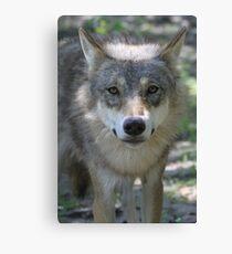 Eurasian Wolf (Canis lupus lupus) Canvas Print