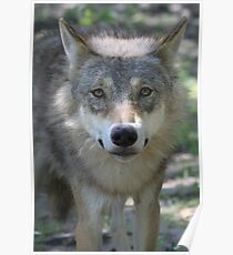 Eurasian Wolf (Canis lupus lupus) Poster