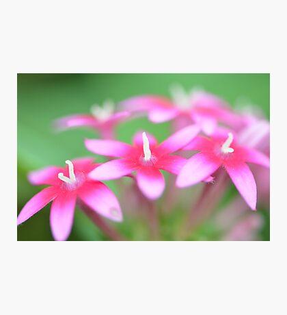 Pink Pentas Photographic Print