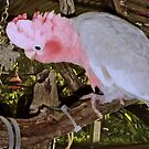 Bailey, Pink and Grey Galah. His cage is my house.....;-) by Toni Kane