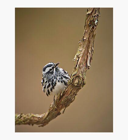 Black & White Warbler Photographic Print