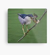 Black Crowned Night Heron with his Catch Metal Print