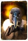 "Smile and say ""Carrion"". Andean Condor Portrait by alan shapiro"