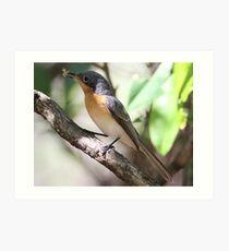 leaden flycatcher Art Print