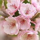 Crabapple Blooms II by David Kocherhans