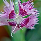 Dianthus by budrfli
