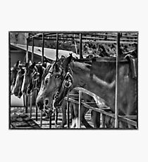 Once Ridden Twice Shy Photographic Print