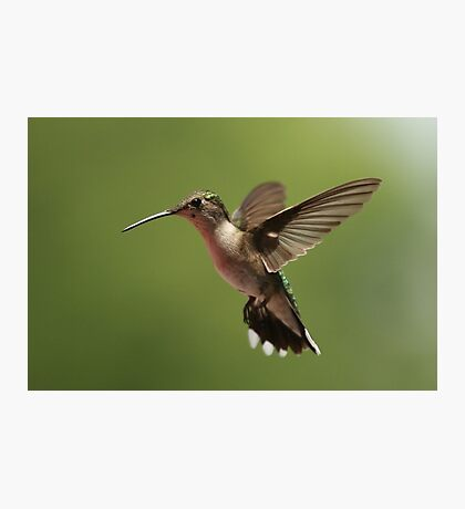 Another Hummer Photographic Print