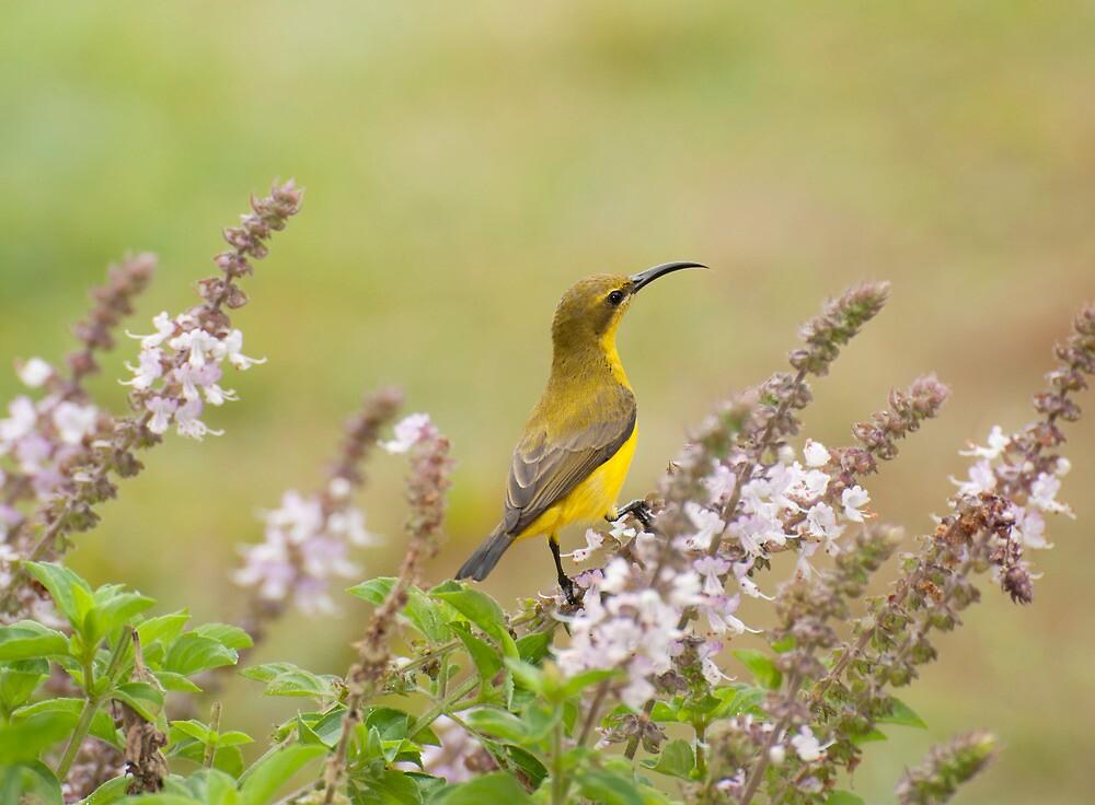 Bird in the Basil by Jenny Dean
