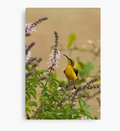Sunbird in the basil Canvas Print