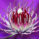 Clematis Heart by Ticker