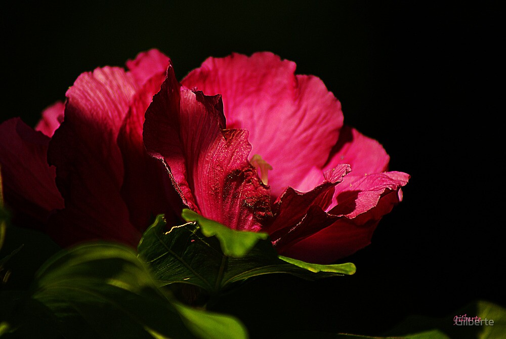 Pink Hibiscus by Gilberte