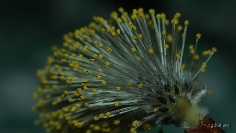 Pussy willow by Floydwilson