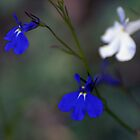 Blue, blue and white by Antanas
