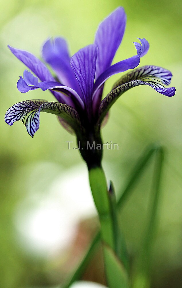 Holt Pond - Blue Flag (Iris) by T.J. Martin