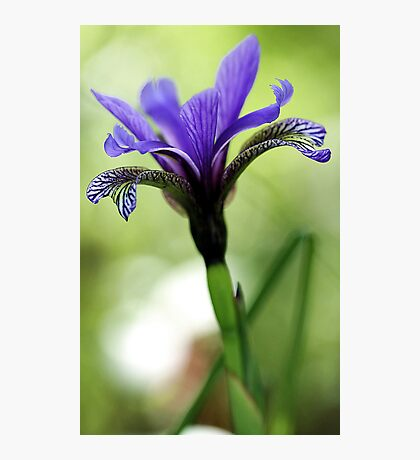 Holt Pond - Blue Flag (Iris) Photographic Print