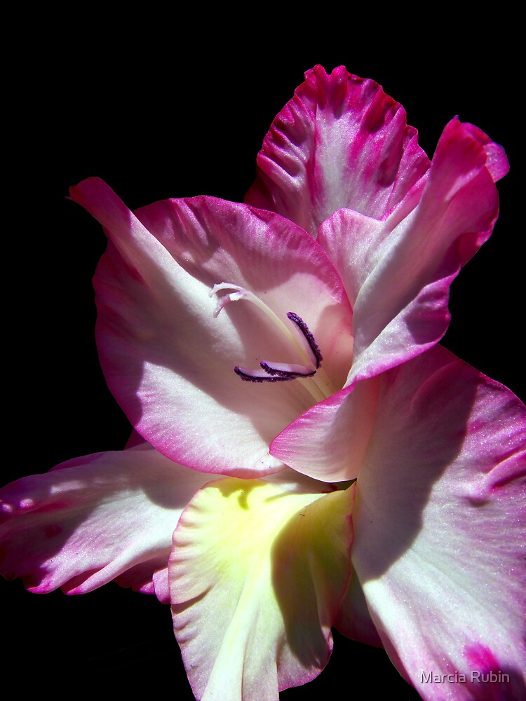 Gorgeous Gladiola  by Marcia Rubin