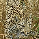 Leopard in action by jozi1