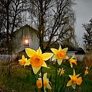 Daffodil's at Finley Refuge. by Charles & Patricia   Harkins ~ Picture Oregon