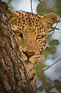 Leopard (Panthera pardus) in Moremi Wildlife Reserve, Botswana by Neville Jones