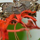 Underside of a Clipper Butterfly by Paula Betz