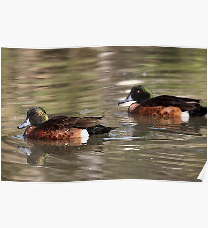 Two Brown Ducks Poster