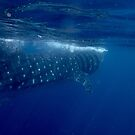 Whale Shark by Alex Mironov