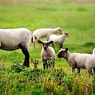 Sheep by MWhitham