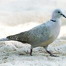Collared Dove  by DExPIX