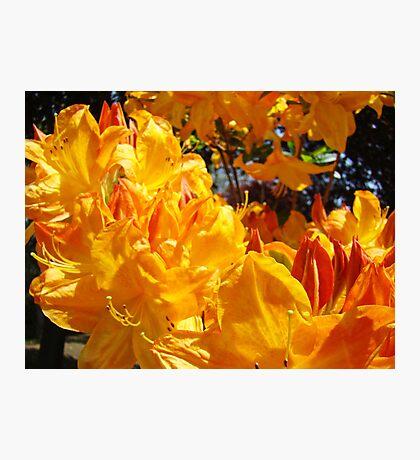 Vivid Vibrant Rhododendron Flowers Botanical art prints Photographic Print