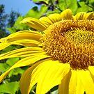Yellow Sunflower Flower art print Summer Garden Baslee by BasleeArtPrints