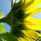 Sunlit Sunflower Flower art prints Yellow Sunflowers Floral by BasleeArtPrints