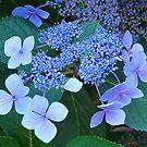 Blue Hydrangea Flowers art prints Garden Baslee Troutman by BasleeArtPrints
