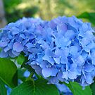 Blue Hydrangea Flower Garden art prints Floral Garden by BasleeArtPrints
