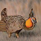 Prairie Chicken by Shawn Swain