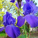 Irises Flowers Botanical Garden Purple art prints Baslee by BasleeArtPrints