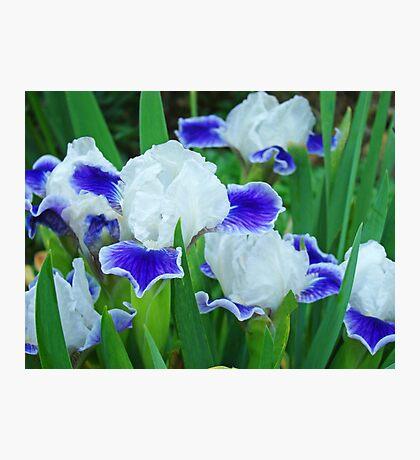 Iris Flowers Garden Purple White Irises Baslee Troutman Photographic Print