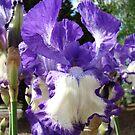Irises Flowers Summer Garden Purple White art prints by BasleeArtPrints